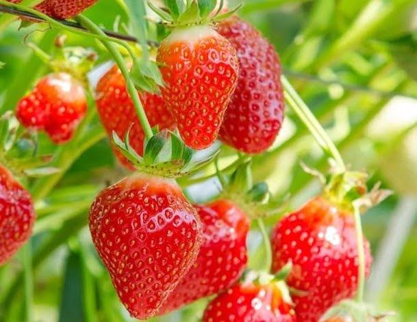 calendario de siembra para fresas